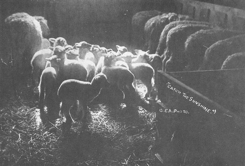 "196. Sunshine from an open window spills across new lambs in a central Utah farmer's shed. Anderson captioned the picture, ""Catch the Sunshine."""